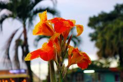 Beautiful red orange flower at a park in Costa Rica during summer. Flower blooming Stock Photos