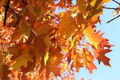 Beautiful red and orange leaves decorate autumn oaks. Beauty royalty free stock photography