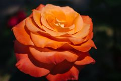 Beautiful red and orange rose flower in garden. Blooming rose on unfocused background. Floral love and romance symbol. Summer blossom concept. Colorful rose royalty free stock photography