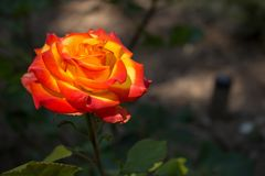 Beautiful red and orange rose flower in garden. Blooming rose on unfocused background. Floral love and romance symbol. Summer blossom concept. Colorful rose stock photos