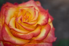 Beautiful red and orange rose flower in garden. Blooming rose on unfocused background. Floral love and romance symbol. Summer blossom concept. Colorful rose stock photography