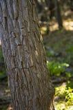 Sassafras Tree Bark royalty free stock images