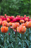 Beautiful red and orange tulips in the green garden. Stock Photo