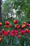 Beautiful red and orange tulips in the green garden. Royalty Free Stock Images