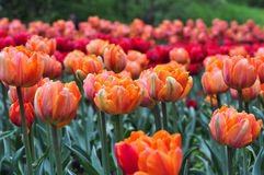 Beautiful red and orange tulips in the green garden. Stock Photography