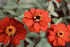 Beautiful red orange yellow flowers with background close up flower blooming wild flower. See my portfolio for lots of colorful flowers, insects, tree`s , fruits royalty free stock photo