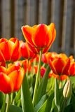 Beautiful Red,Orange and Yellow Tulips in Garden Stock Image