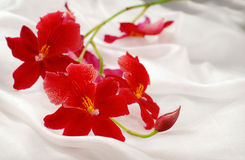 Beautiful red orchid Royalty Free Stock Photos