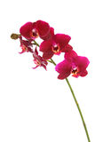 Beautiful red orchid Stock Photography