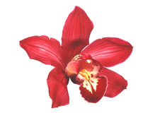 Beautiful red orchid isolated on white Royalty Free Stock Photography