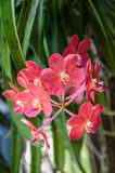 Beautiful red orchids Close up Royalty Free Stock Photography