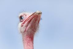 Beautiful red Ostrich with inner eyelid half closed Stock Images