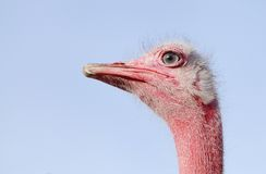 Beautiful red Ostrich staring at camera. Ostrich is large flightless bird native to Africa. It has fastest land speed than any other bird Royalty Free Stock Images