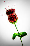 Beautiful red paint made rose flower Royalty Free Stock Photography