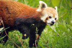 Beautiful Red Panda Stock Photos
