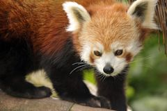 Beautiful Red Panda Stock Image
