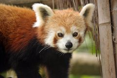 Beautiful Red Panda Royalty Free Stock Photography