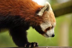 Beautiful Red Panda Stock Images