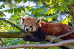 Cute red panda or Ailurus fulgens on tree Stock Photos