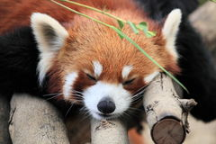 Beautiful red panda in Hong Kong Royalty Free Stock Photo