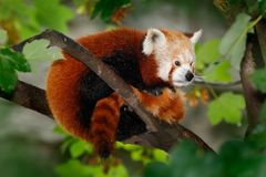 Beautiful Red panda lying on the tree with green leaves, in the nature habitat Stock Images