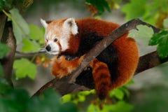 Beautiful Red panda Royalty Free Stock Images