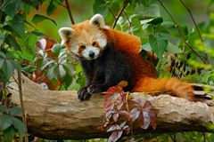 Beautiful Red panda lying on the tree with green leaves. Red panda bear, Ailurus fulgens, habitat. Detail face portrait, animal fr. Om China royalty free stock image