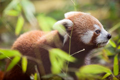 Beautiful red panda in natural habitat Stock Photo