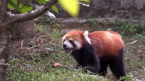 Beautiful red panda running through rain forest trees. Nature wildlife stock video footage