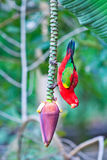 Beautiful red parrot bird in banana garden Stock Photos