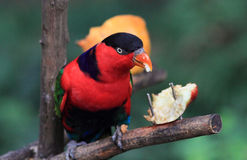 Beautiful red parrot Royalty Free Stock Photo