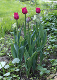 Beautiful red parrot tulips on the flowerbed in the garden Stock Photography