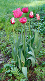 Beautiful red parrot tulips on the flowerbed in the garden Royalty Free Stock Image