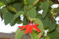 Beautiful red passiflora flowers. Redflowers in Florida while on vacation Royalty Free Stock Image