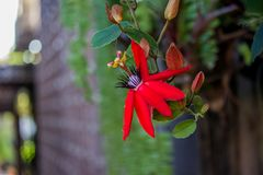 Beautiful Red Passion Flower Passiflora coccinea. Passiflora coccinea common names scarlet passion flower, red passion flower is a fast-growing vine. The vine royalty free stock photos
