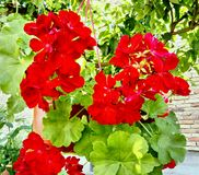 Red Pelargonium flowers hanging from the tree stock photography