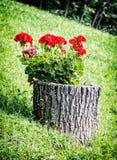 Beautiful red pelargonium flowers on the tree stump. Vibrant colors. Seasonal natural scene stock photo