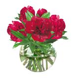 Beautiful red peonies in glass vase with bow isolated on white Royalty Free Stock Photography