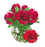 Beautiful red peonies in glass vase with bow isolated on white Royalty Free Stock Photo