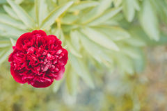 Beautiful red Peony on a green background. Stock Photography