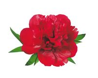 Beautiful red peony isolated on white Stock Images