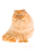 Beautiful red Persian, on white background Royalty Free Stock Image