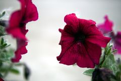 Red Petunia flowers closeup stock image
