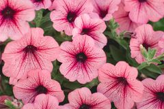 Beautiful Red Petunias in garden soft focus. Beautiful Red Petunias Petunia hybrida in garden soft focus royalty free stock photos
