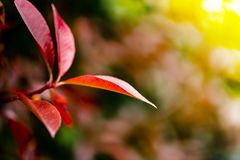 Beautiful red Photinia used for a hedge or background. royalty free stock photo