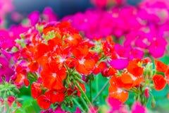 Beautiful red pink flowers of Pelargonium peltatum on the flowerbed for background. Pelargonium peltatum is a species of pelargoni stock photos