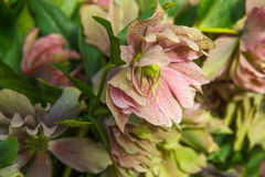 Beautiful red and pink helleborus flowers closeup in sunlight Stock Photography