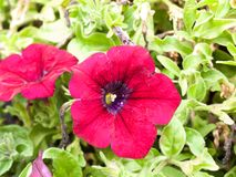 Beautiful red pink petunia flower head bloom close up green leav Royalty Free Stock Photography