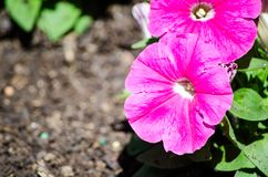 Beautiful red pink petunia x hybrida `Ramblin Violet` flowers in a spring season at a botanical garden. A beautiful red pink petunia x hybrida `Ramblin Violet` stock image