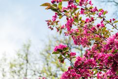 Blooming Apple tree Malus `Royal beauty`. Beautiful red pink and purple flowers of crab apple tree, with the botanical name of Malus purpurea Eleyi. Shallow Royalty Free Stock Images